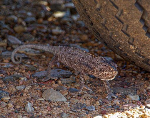 Das seltene und endemische Sokotra Chamäleon - Chamaeleo monachus