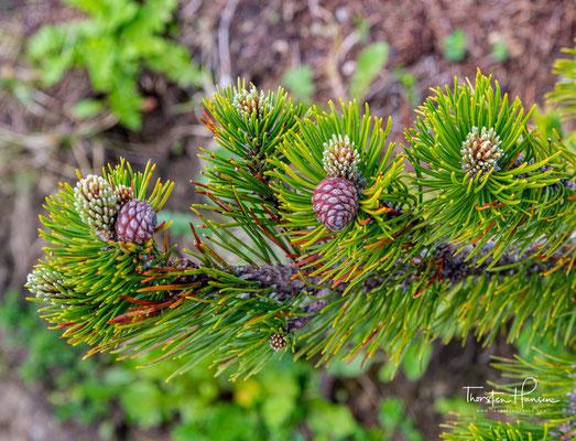 """Der Naturpark Karwendel informiert folgendermassen über die Latsche: """"Die Latsche (Pinus mugo) auch Legföhre, Krüppelkiefer oder Zunter genannt,"""