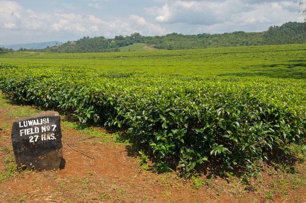 Teeplantage auf Sansibar