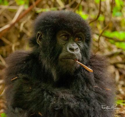 Die täglich zurückgelegten Entfernungen sind abhängig von der Größe der Gruppe, der Verfügbarkeit der Nahrung und der Regenmenge im Verbreitungsgebiet.
