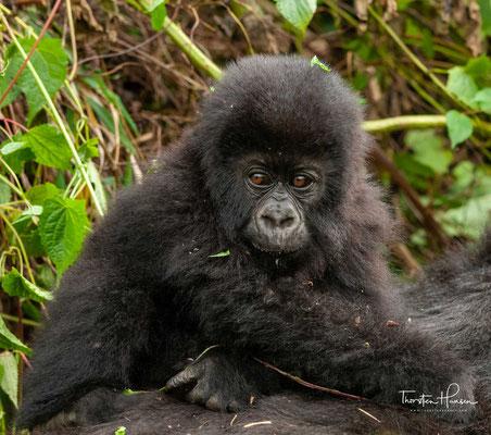"""...wobei die Population des Bwindiwaldes möglicherweise eine vom Berggorilla zu unterscheidende Unterart (""""Bwindigorilla"""") darstellt."""