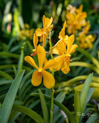 Im National Orchid Garden (Nationaler Orchideengarten) können Sie Schulter an Schulter mit VIPs wie der Vanda William Catherine und der Paravanda Nelson Mandela stehen.