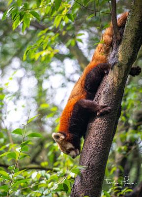 Die westliche Grenze ihrer Verbreitung liegt im Rara-Nationalpark in Nepal
