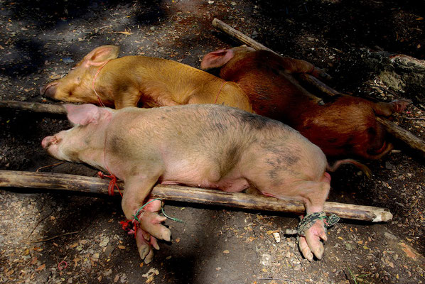 Opferschweine für das Fest