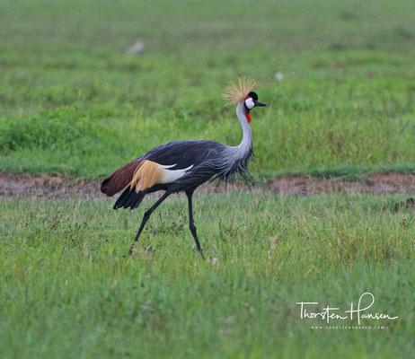 Kronenkranich im Ngorongoro-Krater