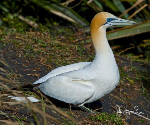 Die Schwingen, die Flügeldecken und die mittleren Schwanzfedern sind bis auf die erste Schwinge schwarz. Der Schnabel ist blaugrau und an der Schnabelbasis durch schwarze, unbefiederte Haut vom Kopfgefieder abgesetzt.