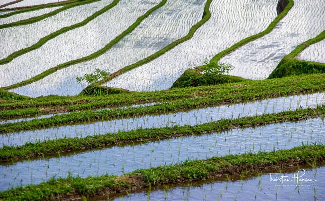 """Jatiluwih ist Balinesisch und heißt """"wunderschön"""". Und wunderschön sind sie auch, die kunstvoll angelegten und in den Hang des Vulkans Gunung Batukaru gehauenen Reisterrassen."""