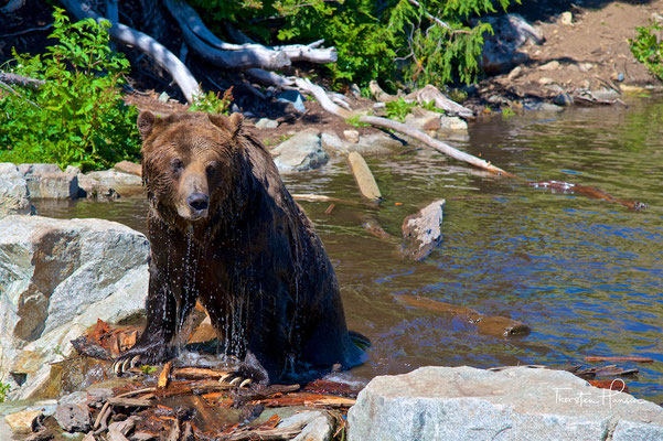 Grizzley, Grouse Mountains Vancouver