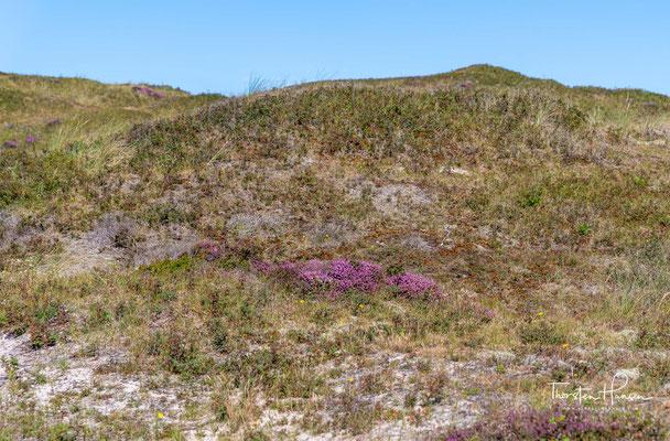 Die Texeler Dünen sind in ihrer heutigen Form großenteils durch menschlichen Einfluss entstanden.