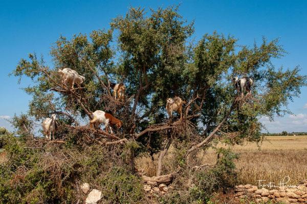 Ziegen in den Arganbäumen im Süden Marokkos
