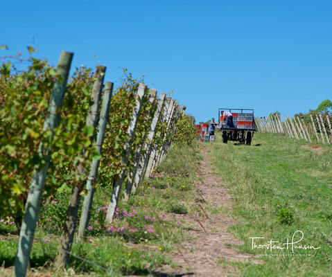 Alle Weinreben um das gesamte Weingut werden von Hand kultiviert und geerntet