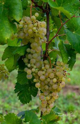 Prosecco Frizzante (Perlwein) umfasst 23 Prozent der Gesamtproduktion. Die Perlage ist leicht und weniger anhaltend.