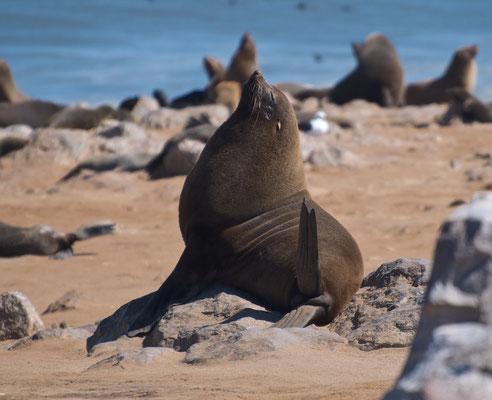 Südafrikanischer Seebär am Kreuzkap in Namibia