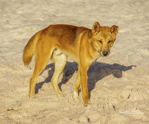 ie Dingopopulation steht daher in diesem Nationalpark unter erheblichem Überlebensdruck.
