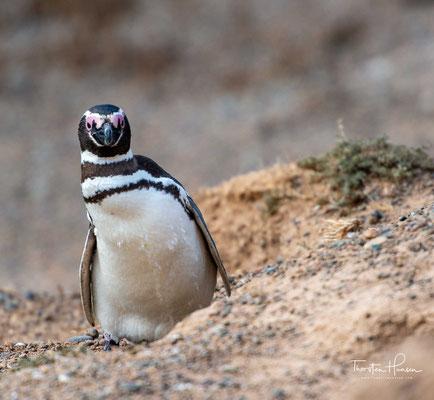 Magellan-Pinguine am Strand von Valdés