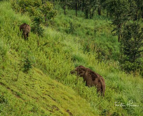 Der Indische Elefant (Elephas maximus indicus) ist einer von drei Unterarten des Asiatischen Elefanten. Er ist auf dem asiatischen Kontinent heimisch.