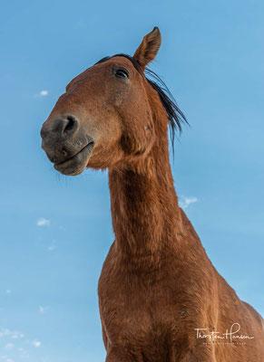 Es gibt sehr viele Theorien, wie die Pferde in die Wüste gelangt sein könnten, vor dem Einzug der deutschen Kolonialisten gab es aber keine Pferde in Namibia.