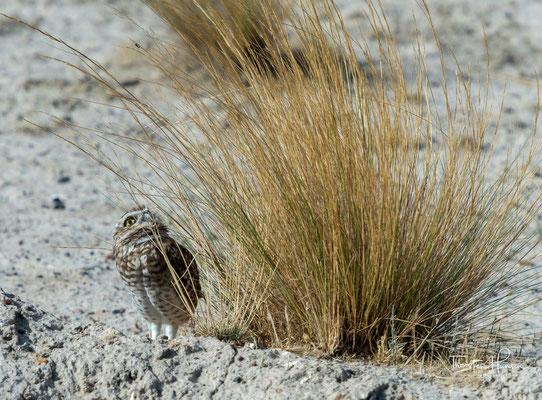 Die Eulen graben gräbt gewöhnlich einen Bau neben Feldern oder an Straßenrändern aus.