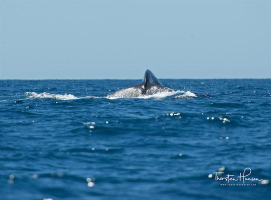 Seit 1966 steht der Buckelwal unter weltweitem Artenschutz.