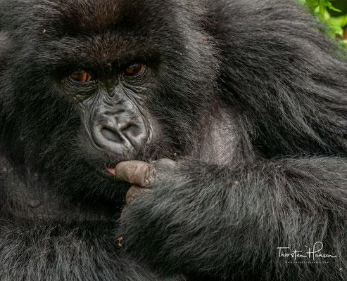 Nach rund 250 Tagen Tragzeit bringen die Weibchen in der Regel ein Junges zur Welt.