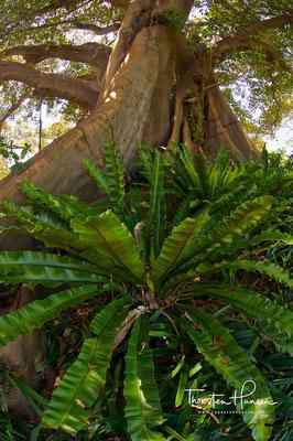 Feigenbaum in Sydney Botanical Garden