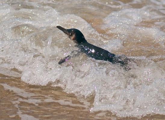 Der Zwergpinguin (Eudyptula minor) ist die kleinste Art aus der Familie der Pinguine (Spheniscidae).