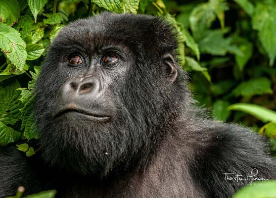 In der Region Goma leben 1,2 Millionen Menschen, 97 Prozent davon decken ihre Energieversorgung mit Holz.