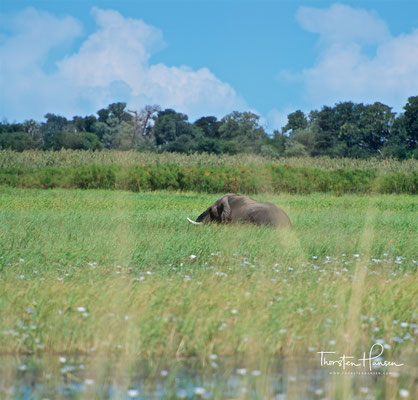 Elefant im Bwabwata-Nationalpark (ehemals Caprivi-Nationalpark und Mahango-Nationalpark)