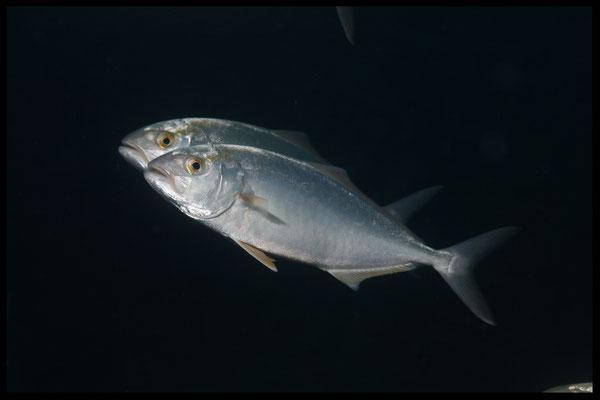 amber-jack fish