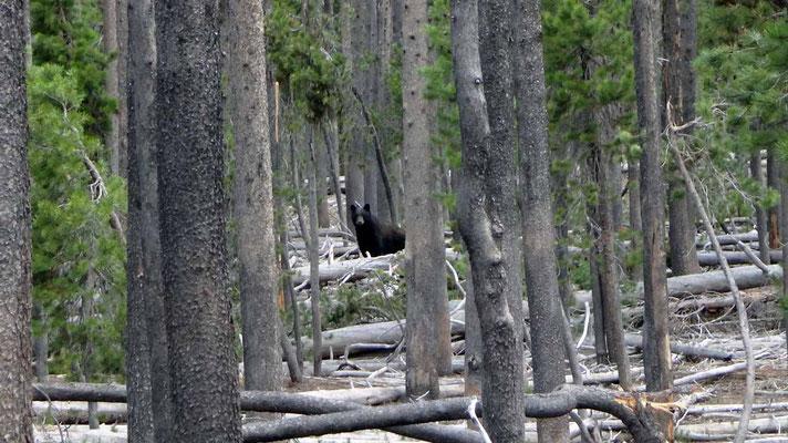 Ours dans les abattis