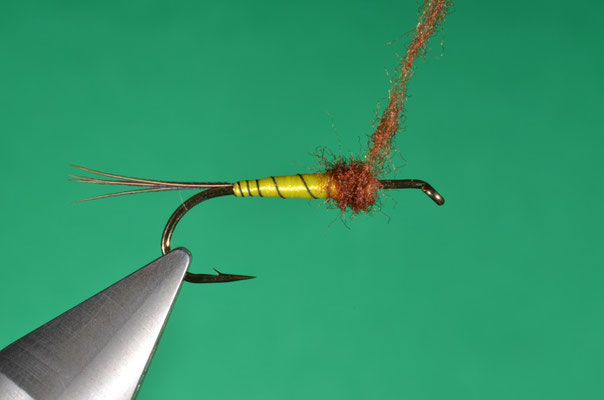 6- il torace di pelo marrone è avvolto nel terzo anteriore del corpo della mosca