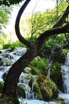 Plitvice - Baum vor Wasserfall Fotografie auf Acrylglas 23 x 30  170,-