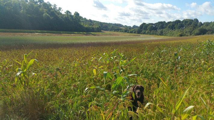 Maïs millet, moha, des jachères adaptées à la chasse devant soi