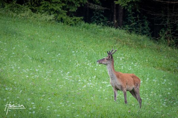 Junger Hirsch im Sommer
