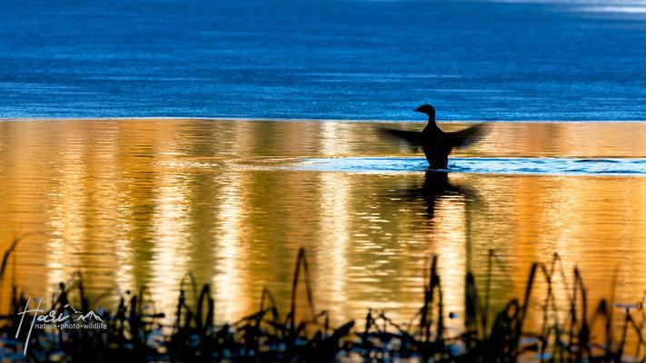 Ente im Morgentanz