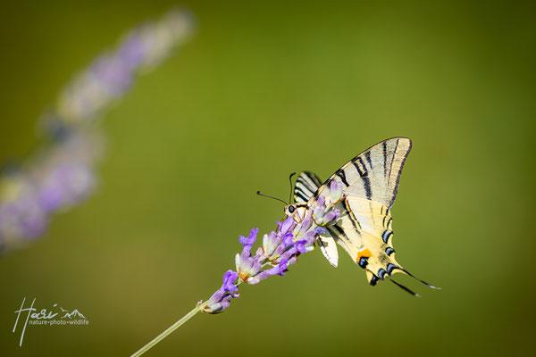 Segelfalter auf Lavendelblüte