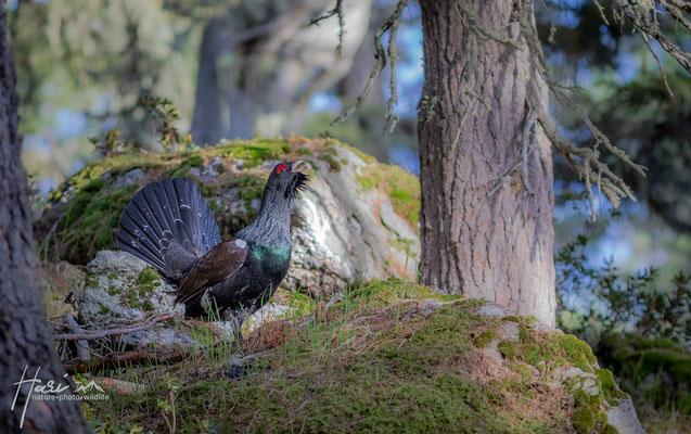 Auerhahn Stilfserjoch Nationalpark