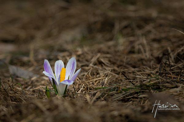 Krokus im Frühjahr