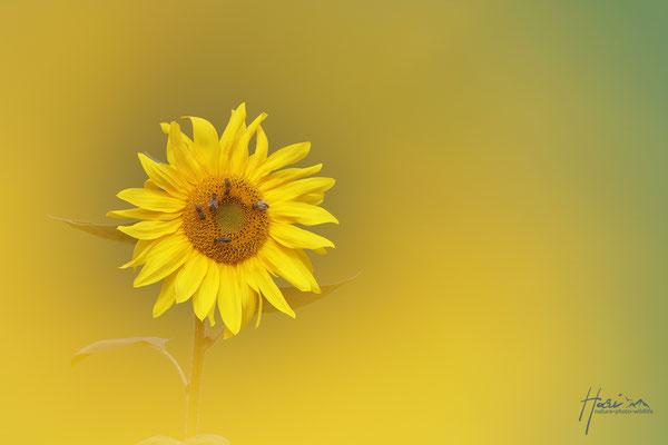 Sonnenblume Doppelbelichtung