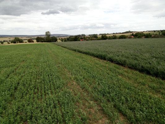 links: 1 Hektar Luzerne / rechts: 1 Hektar Luzerne