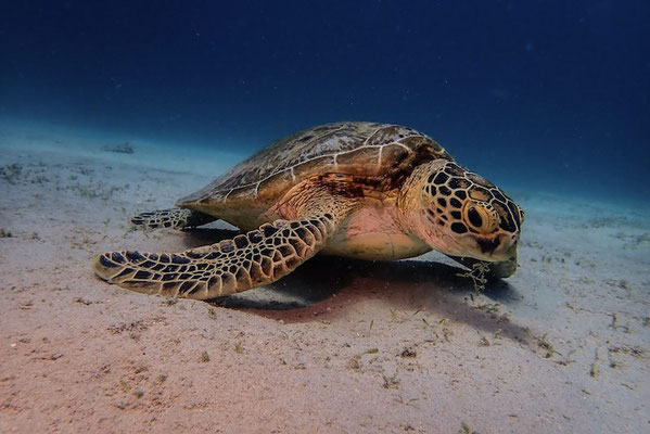 Hungry Sea Turtle