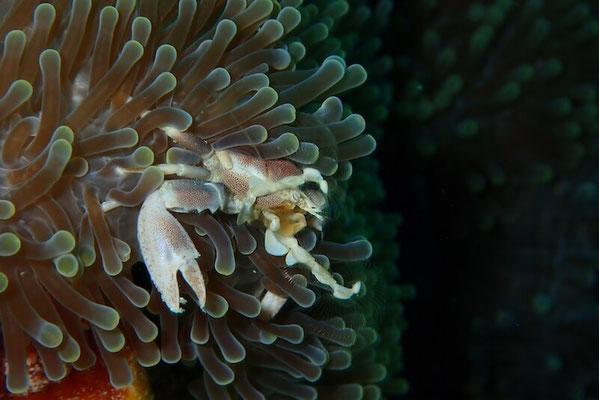 Porcelain-Crab