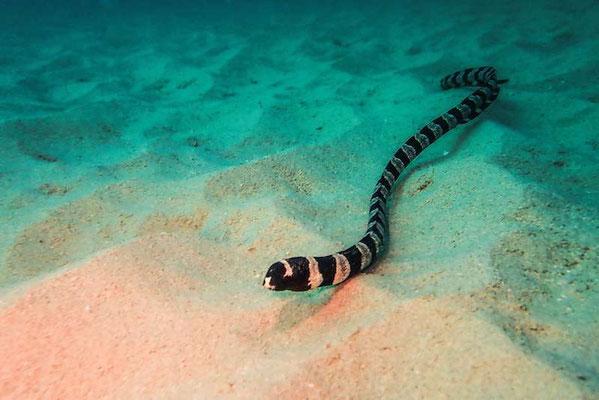 Sea Snake - or Eel???