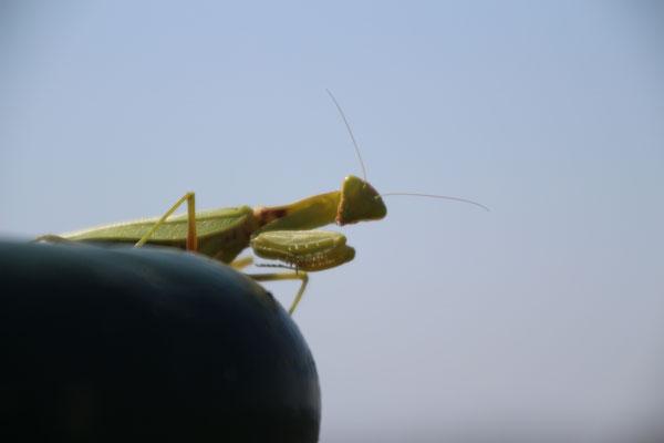 Eine Gottesanbeterin auf unserer Terrasse
