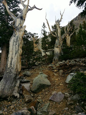 Bristlecone Pine Hain