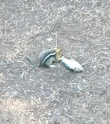 Chipmunk mit totem Fisch
