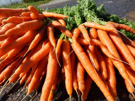 Récolte de bottes de carottes bio