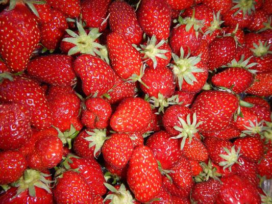 Récolte de Mara des Bois, notre variété de fraise bio