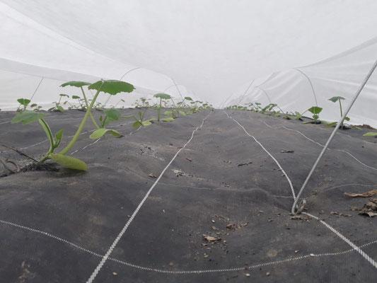 Plants de courgettes sous des voiles de protection
