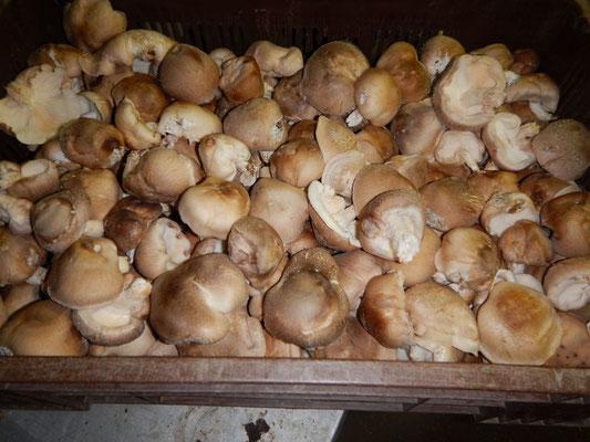 Culture de shiitakés bio (champignons)